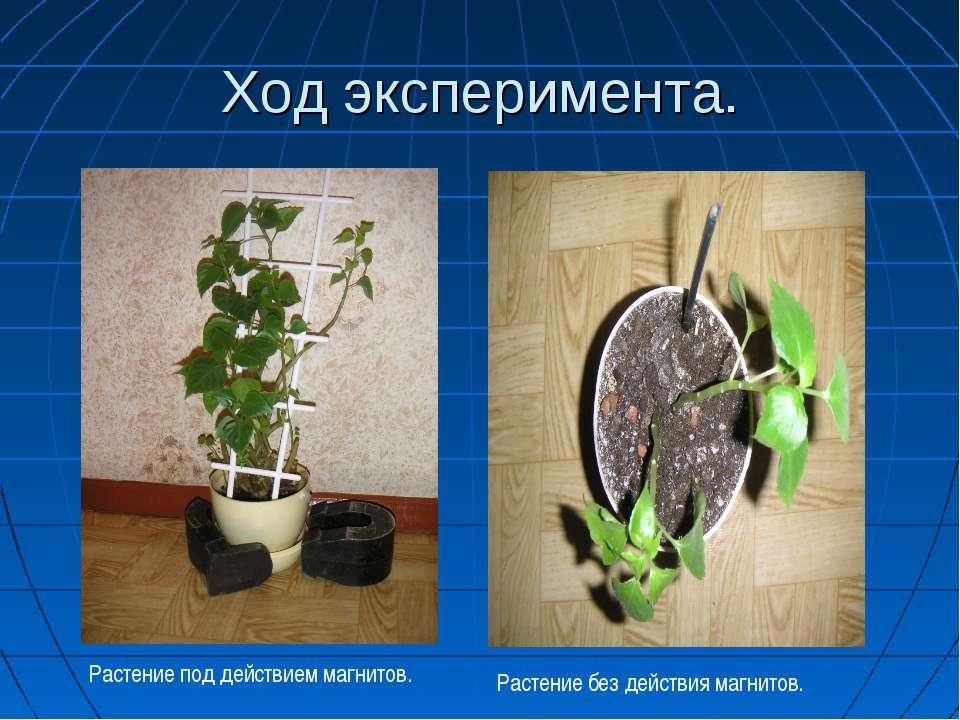 Ход эксперимента. Растение под действием магнитов. Растение без действия магн...
