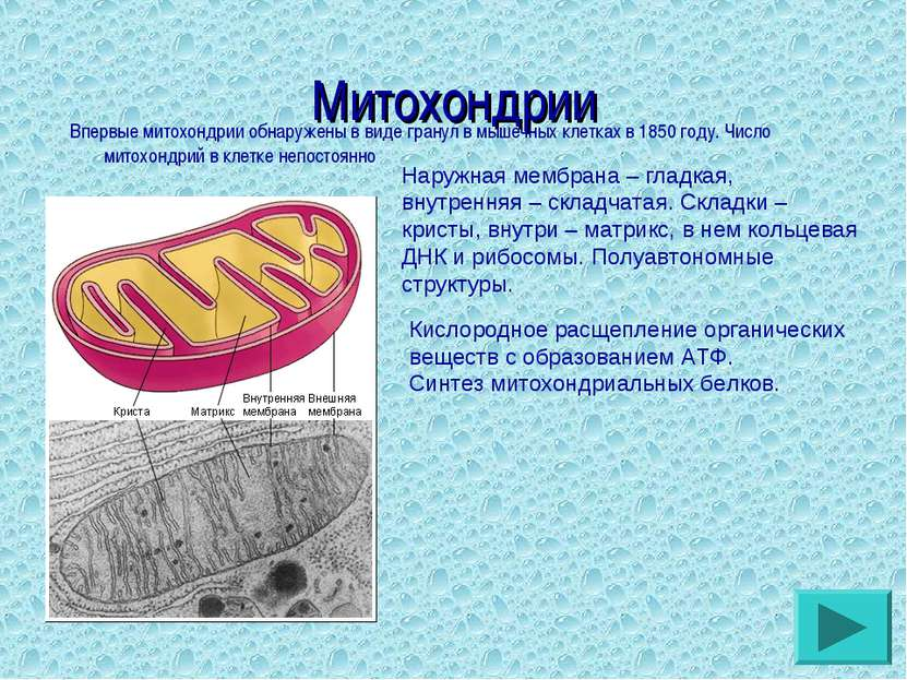 Митохондрии Впервые митохондрии обнаружены в виде гранул в мышечных клетках в...