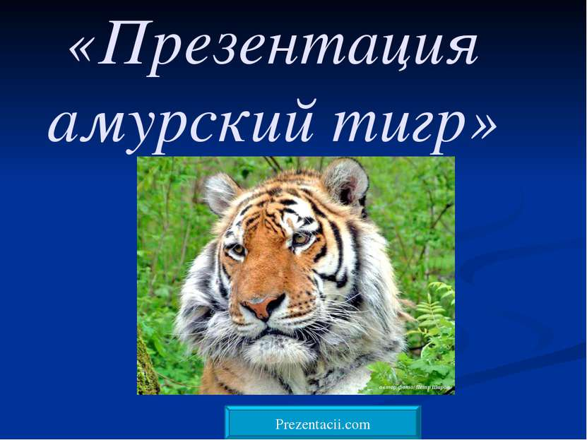 «Презентация амурский тигр» Prezentacii.com
