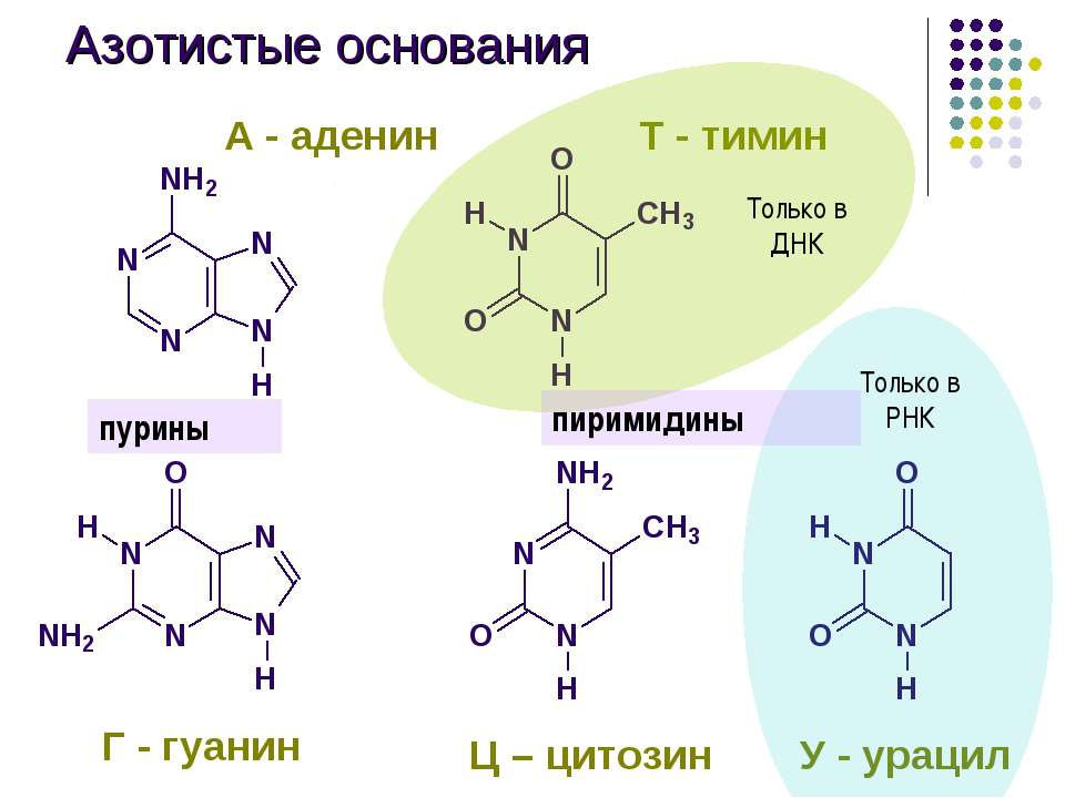 Азотистые основания Г - гуанин Ц – цитозин У - урацил А - аденин Т - тимин пу...