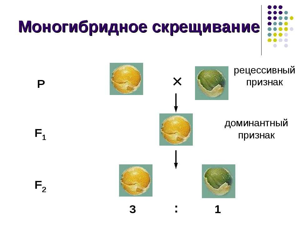 Моногибридное скрещивание P F1 F2 3 : 1 × доминантный признак рецессивный при...
