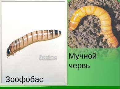 Зоофобас Мучной червь