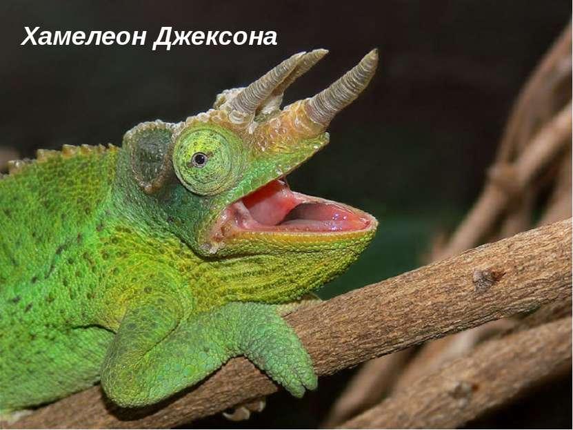 Хамелеон Джексона
