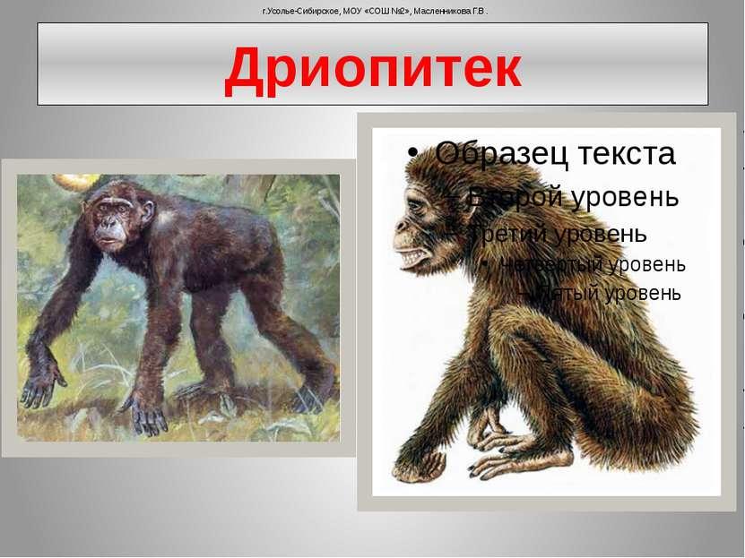 Дриопитек г.Усолье-Сибирское, МОУ «СОШ №2», Масленникова Г.В.