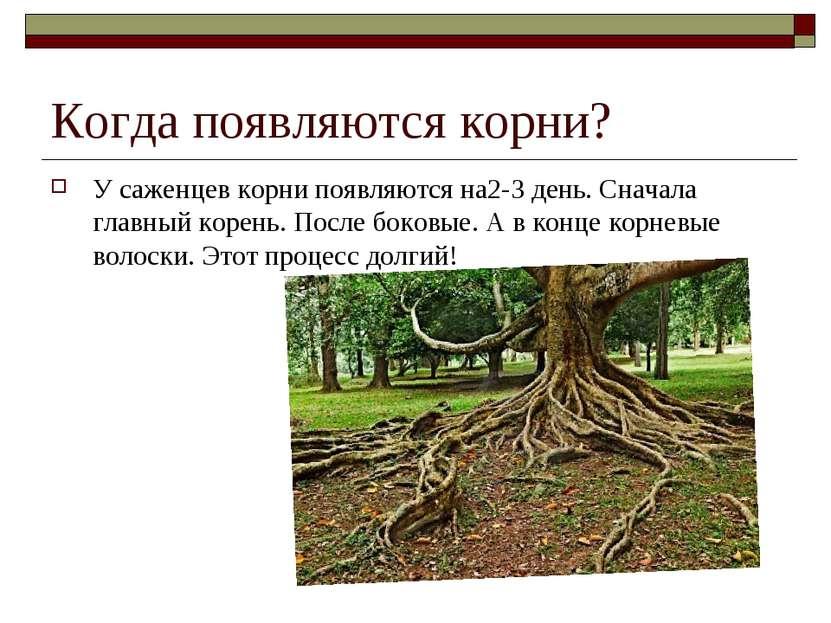 Когда появляются корни? У саженцев корни появляются на2-3 день. Сначала главн...