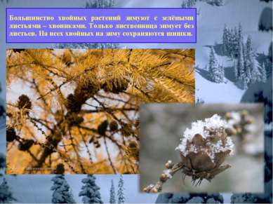 Как зимуют хвойные растения? Большинство хвойных растений зимуют с зелёными л...