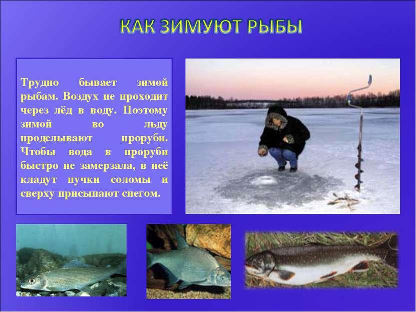 Трудно бывает зимой рыбам. Воздух не проходит через лёд в воду. Поэтому зимой...