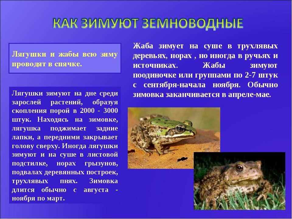 Лягушки и жабы всю зиму проводят в спячке. Лягушки зимуют на дне среди заросл...