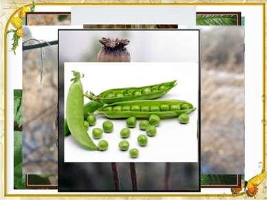 Плоды и семена