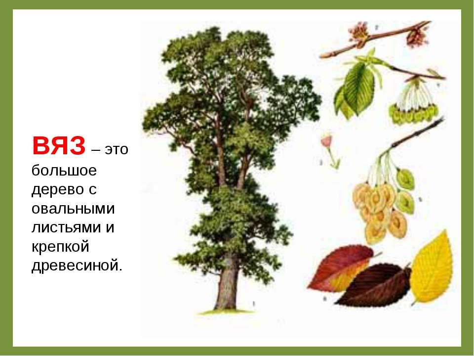 ВЯЗ – это большое дерево с овальными листьями и крепкой древесиной.