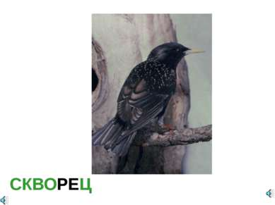 СКВОРЕЦ Sturnus sp. — Скворец Отряд Воробьинообразные (Passeriformes): Семейс...