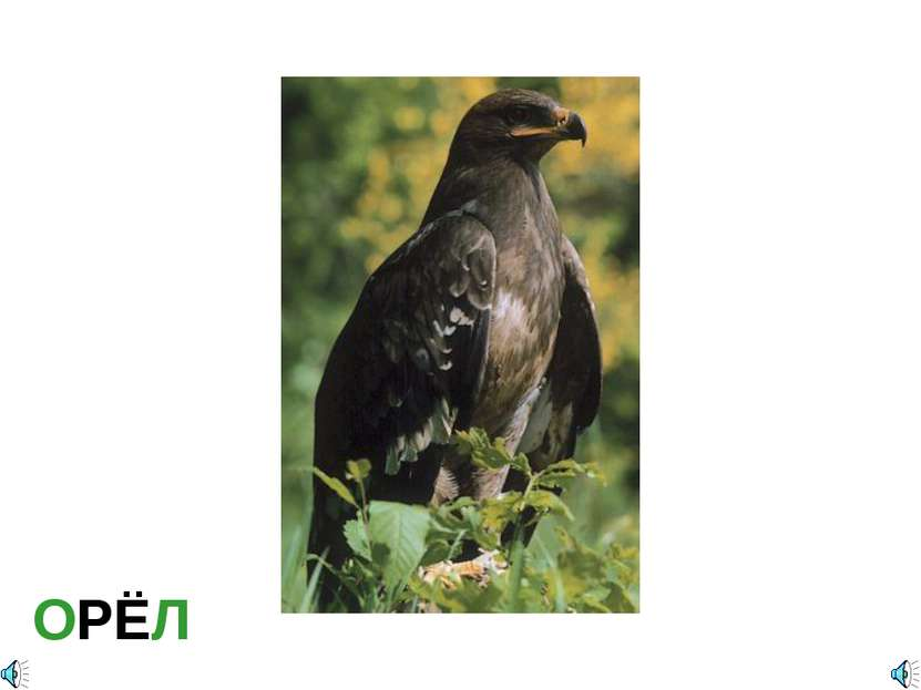 ОРЁЛ Aquila sp. — Орёл Отряд Соколообразные, или Хищные птицы (Falconiformes)...