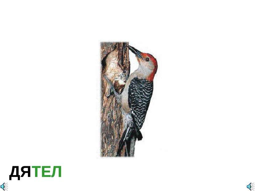ДЯТЕЛ Красноголовый дятел Отряд Дятлообразные (Piciformes): Семейство Настоящ...