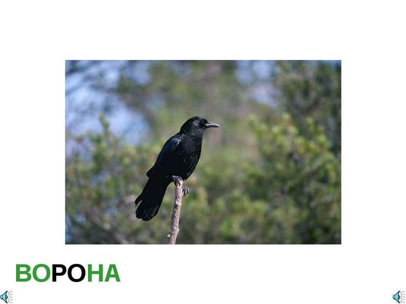 ВОРОНА Corvus brachyrhynchos- Ворона обыкновенная Отряд Воробьинообразные (Pa...
