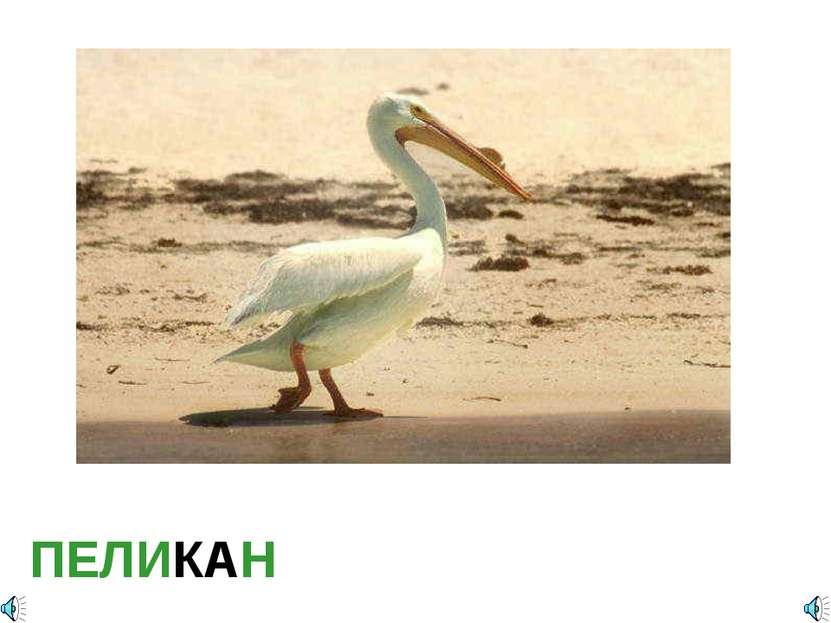 ПЕЛИКАН Pelecanus erythrorhynchos — Пеликан белый американский Отряд Пеликано...