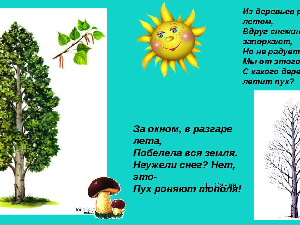 знакомство дошкольников с хвойными деревьями ель