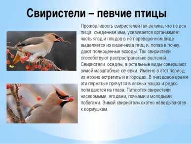 Свиристели – певчие птицы Прожорливость свиристелей так велика, что не вся пи...