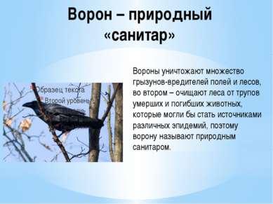 Ворон – природный «санитар» Вороны уничтожают множество грызунов-вредителей п...