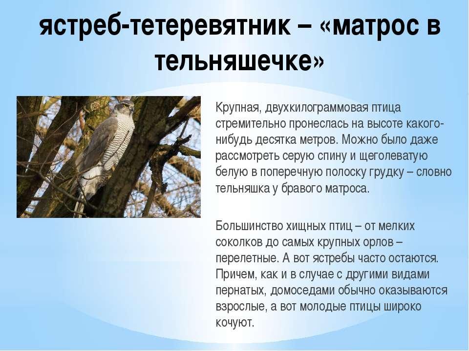 ястреб-тетеревятник – «матрос в тельняшечке» Крупная, двухкилограммовая птица...