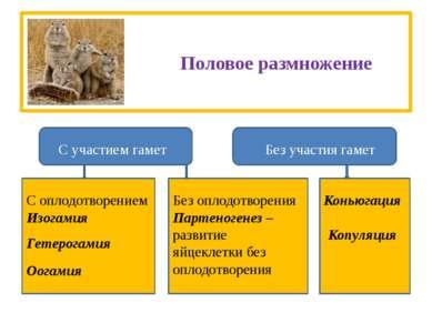Половое размножение С участием гамет Без участия гамет Коньюгация Копуляция С...