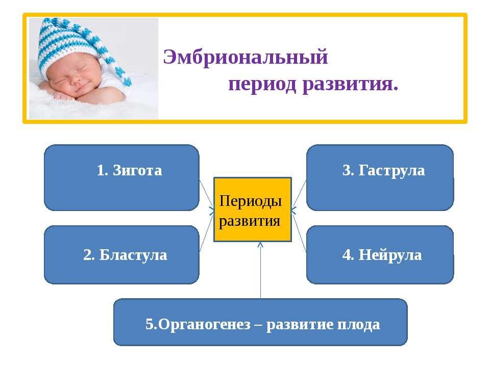 Эмбриональный период развития. 1. Зигота 2. Бластула 3. Гаструла 4. Нейрула 5...
