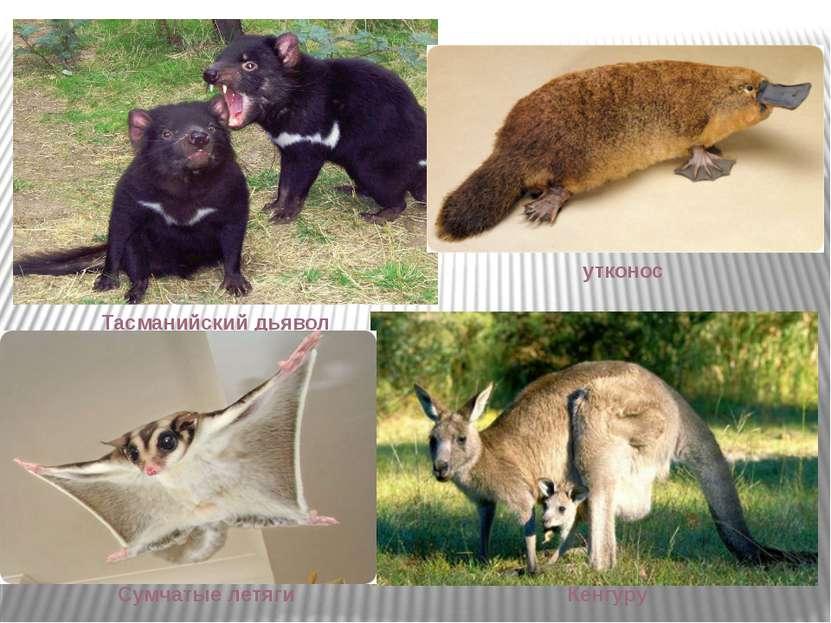 Тасманийский дьявол Кенгуру Сумчатые летяги утконос