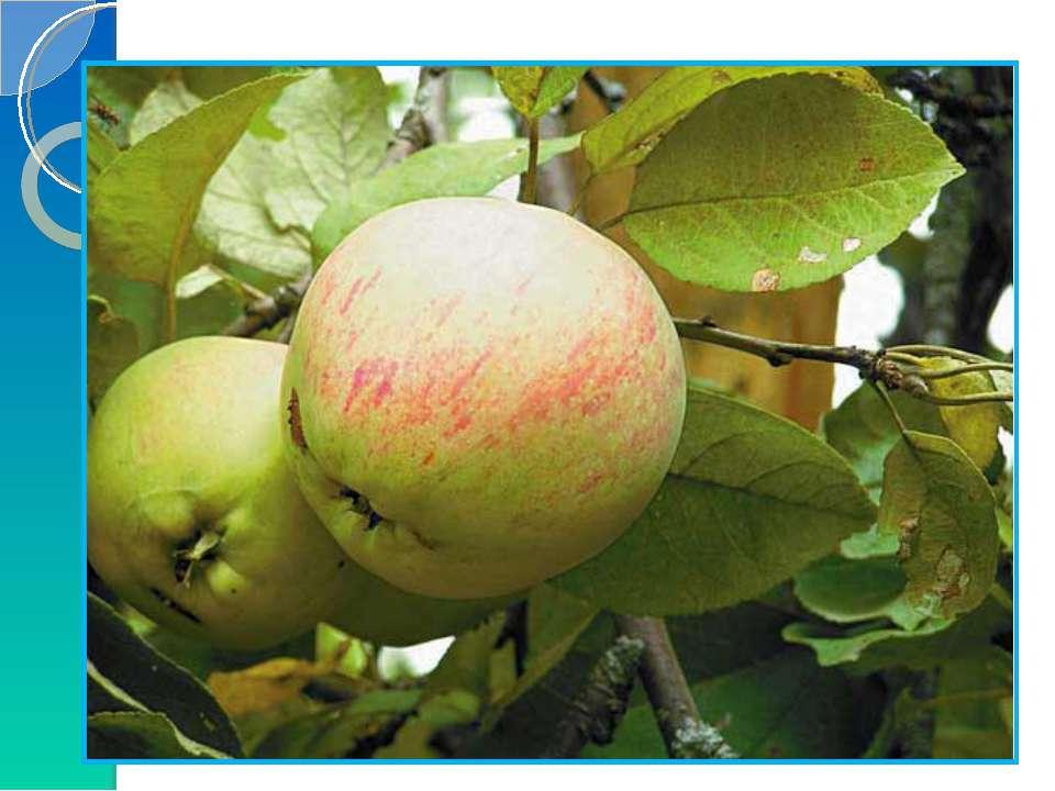 6) Решение задачи. Росли в Кощеевом саду золотые и серебряные яблоки. Всего 2...