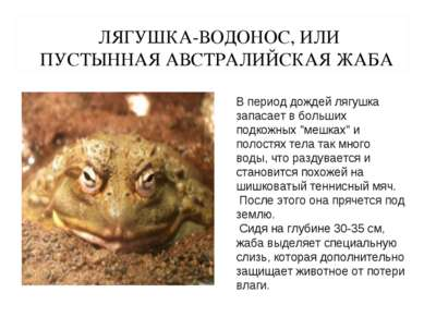 ЛЯГУШКА-ВОДОНОС, ИЛИ ПУСТЫННАЯ АВСТРАЛИЙСКАЯ ЖАБА В период дождей лягушка зап...