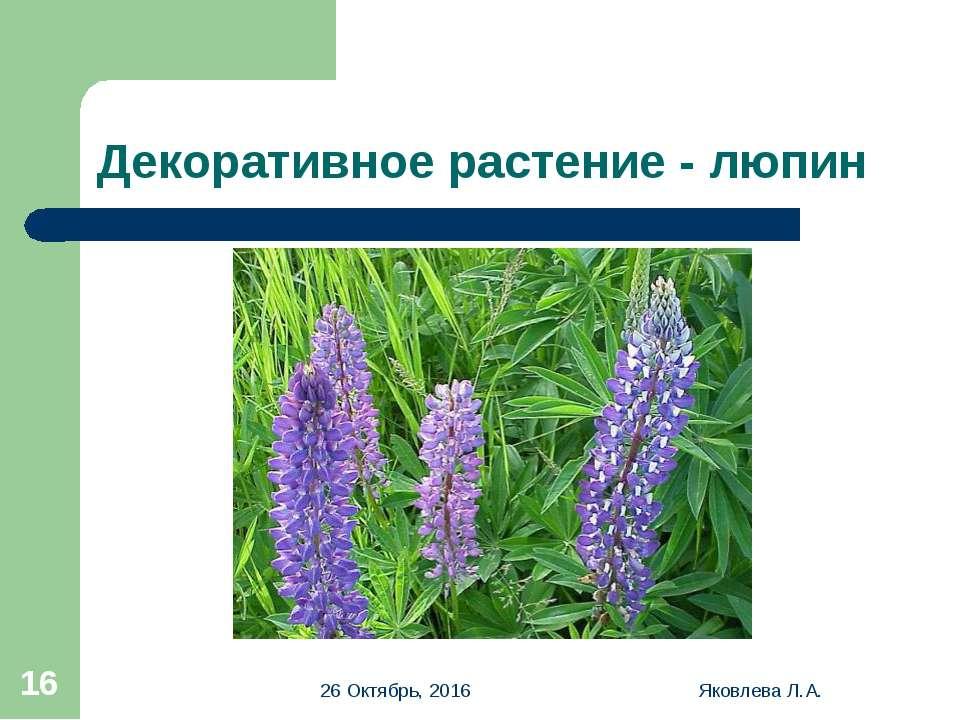 * Яковлева Л.А. * Декоративное растение - люпин Яковлева Л.А.