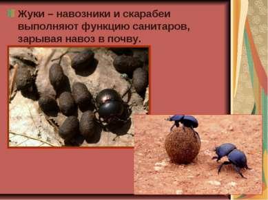 Жуки – навозники и скарабеи выполняют функцию санитаров, зарывая навоз в почву.
