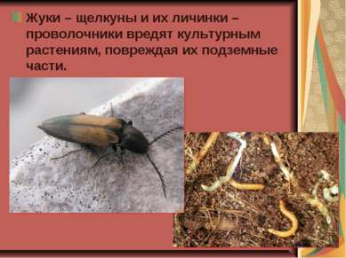 Жуки – щелкуны и их личинки – проволочники вредят культурным растениям, повре...