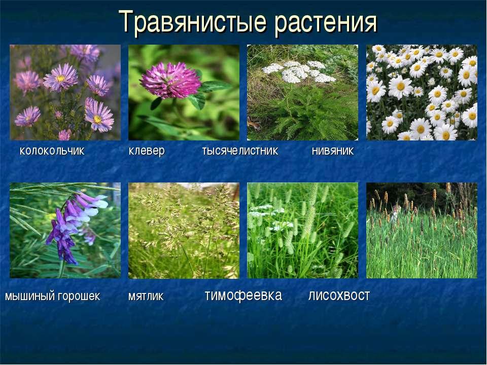 Травянистые растения колокольчик клевер тысячелистник нивяник мышиный горошек...