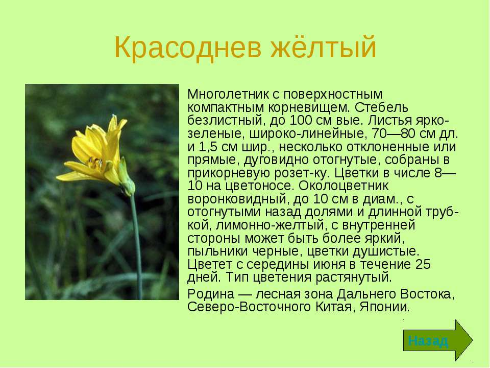 Красоднев жёлтый Многолетник с поверхностным компактным корневищем. Стебель б...