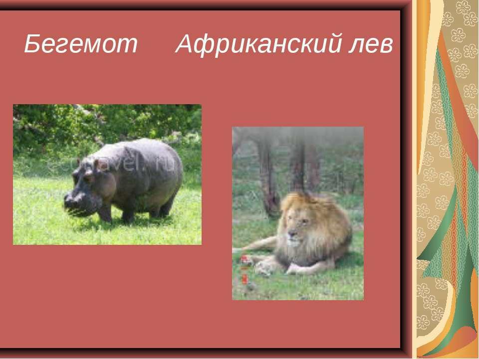 Бегемот Африканский лев