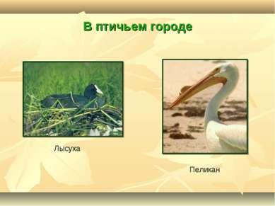 В птичьем городе Пеликан Лысуха