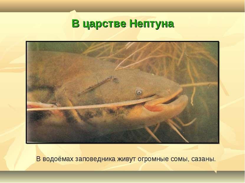 В царстве Нептуна В водоёмах заповедника живут огромные сомы, сазаны.