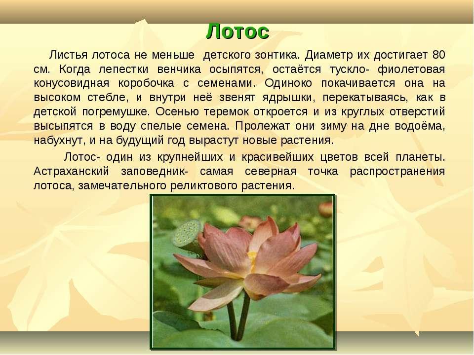 Лотос Листья лотоса не меньше детского зонтика. Диаметр их достигает 80 см. К...