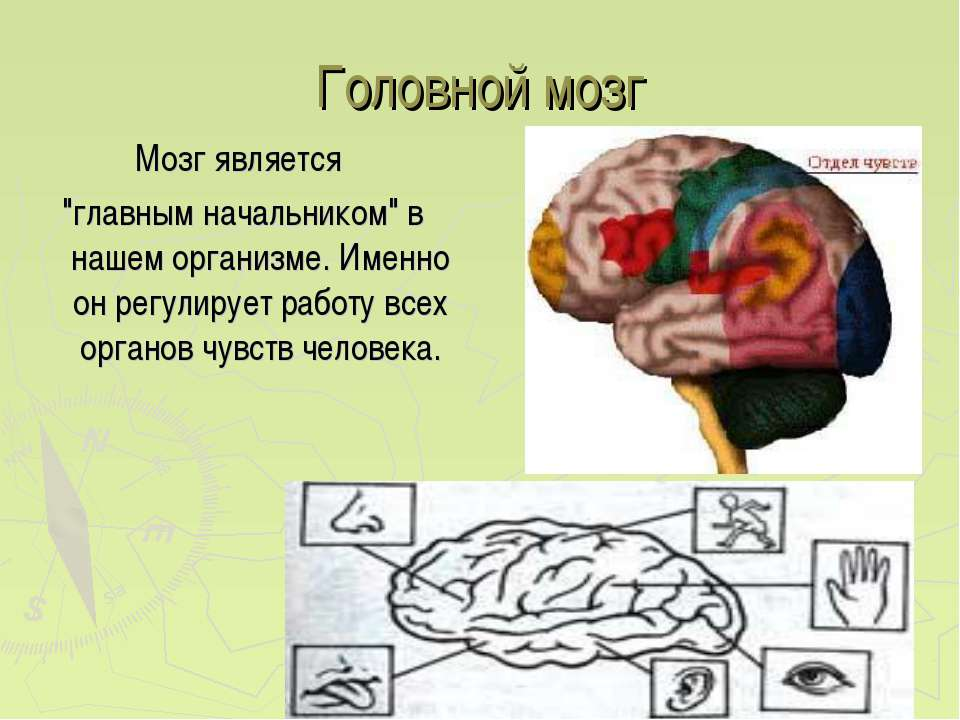 """Головной мозг Мозг является """"главным начальником"""" в нашем организме. Именно о..."""