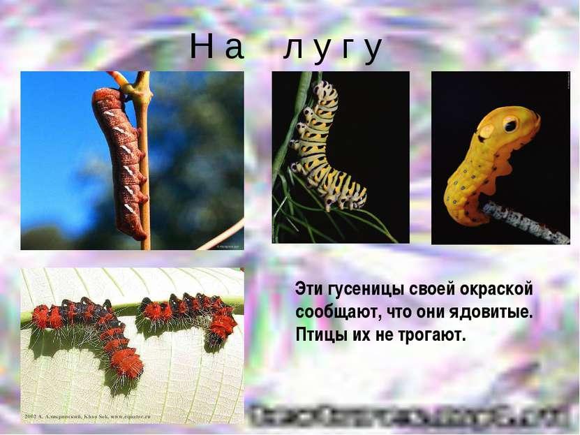 Н а л у г у Эти гусеницы своей окраской сообщают, что они ядовитые. Птицы их ...