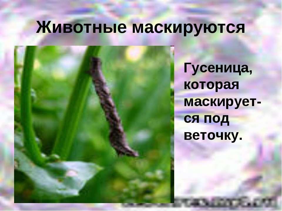 Животные маскируются Гусеница, которая маскирует-ся под веточку.