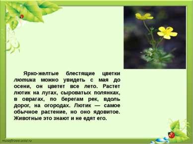 Ярко-желтые блестящие цветки лютика можно увидеть с мая до осени, он цветет в...