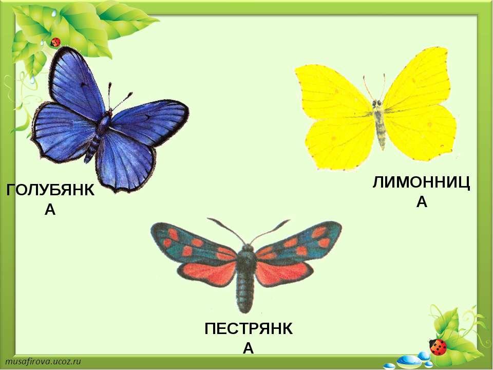 ГОЛУБЯНКА ЛИМОННИЦА ПЕСТРЯНКА