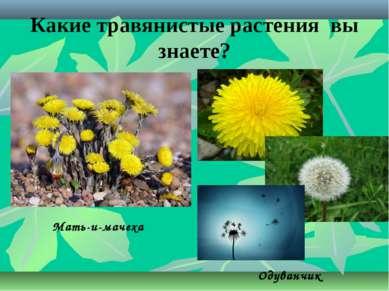 Какие травянистые растения вы знаете? Мать-и-мачеха Одуванчик
