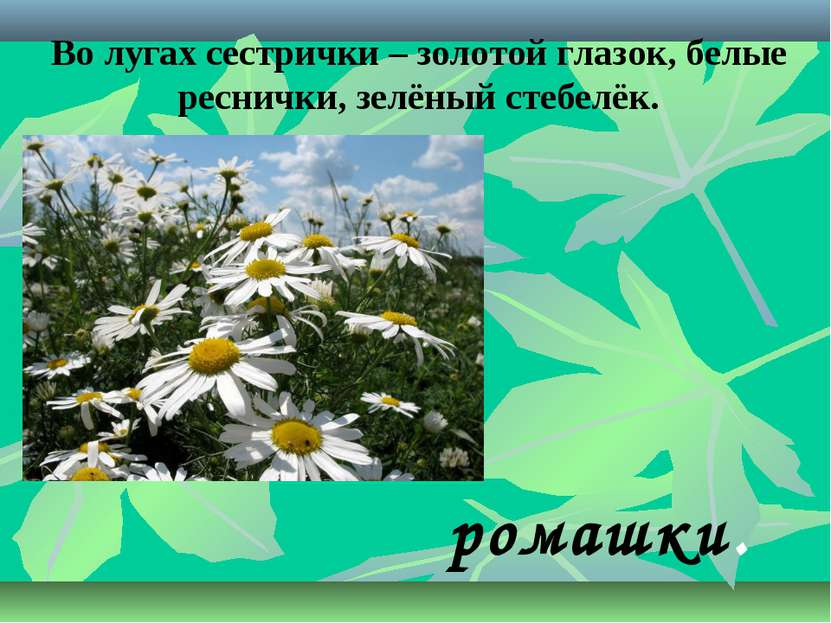 Во лугах сестрички – золотой глазок, белые реснички, зелёный стебелёк. ромашки.
