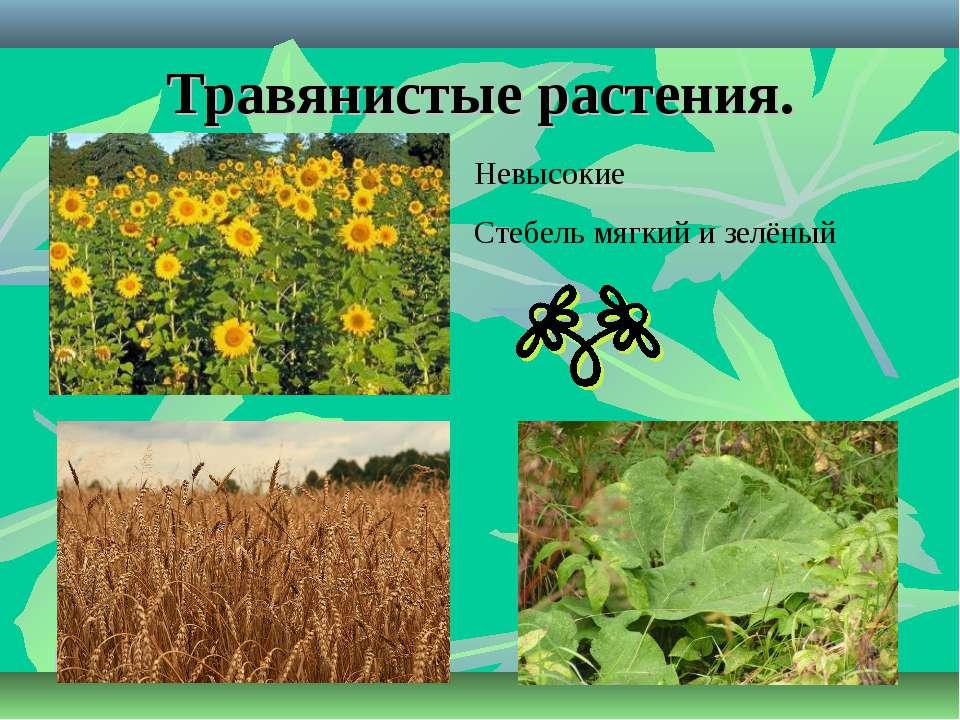 Травянистые растения. Невысокие Стебель мягкий и зелёный