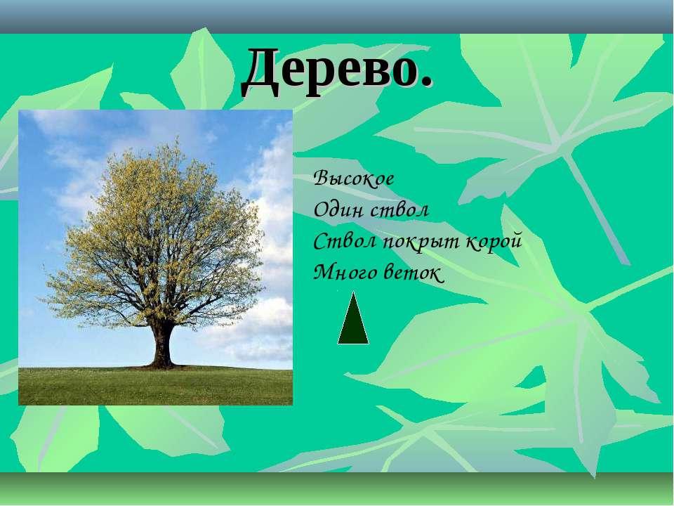 Дерево. Высокое Один ствол Ствол покрыт корой Много веток