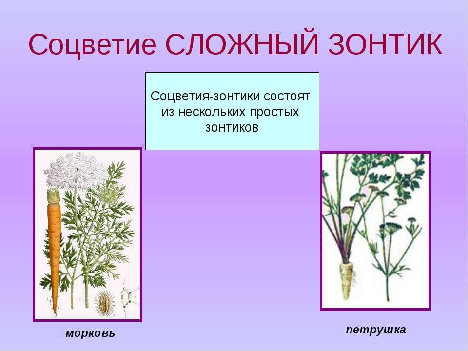 Соцветие СЛОЖНЫЙ ЗОНТИК Соцветия-зонтики состоят из нескольких простых зонтик...