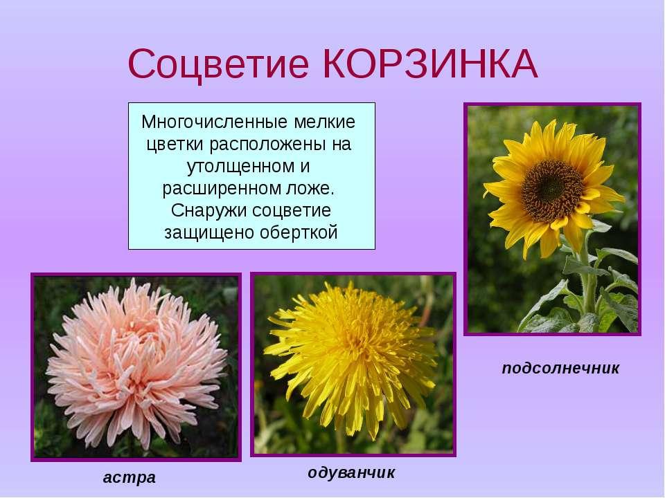 Соцветие КОРЗИНКА Многочисленные мелкие цветки расположены на утолщенном и ра...