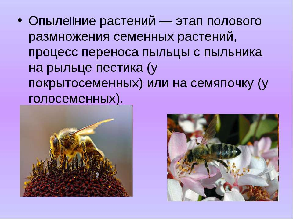 Опыле ние растений — этап полового размножения семенных растений, процесс пер...
