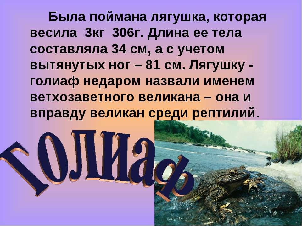 Была поймана лягушка, которая весила 3кг 306г. Длина ее тела составляла 34 см...